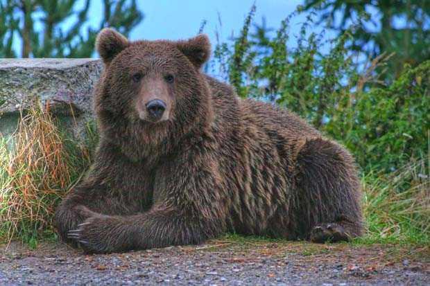 ursul-carpatin