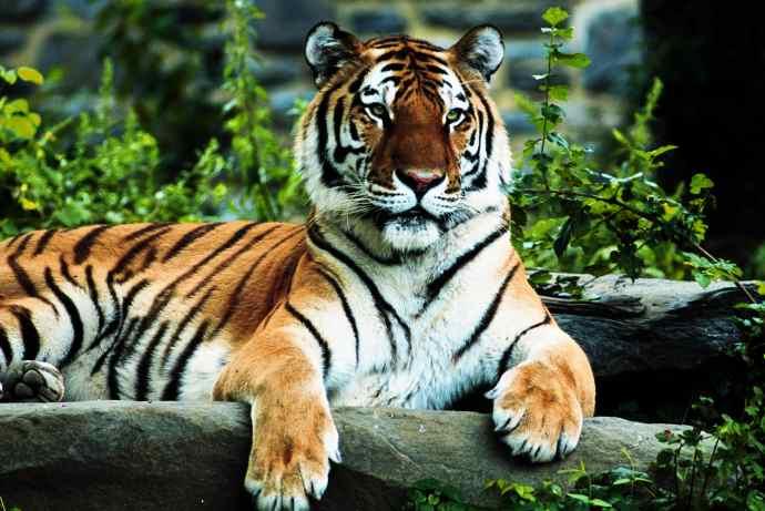 tiger-regal